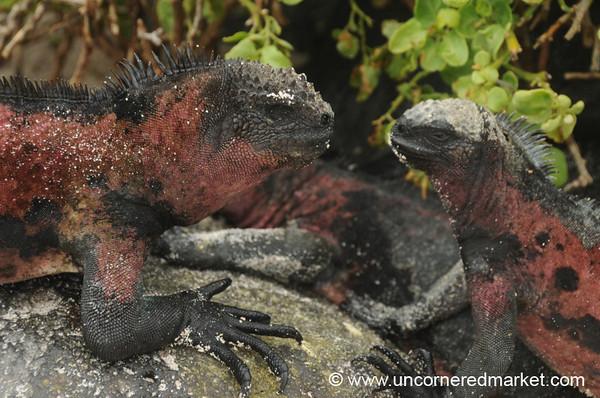 Marine Iguana Face Off - Galapagos Islands