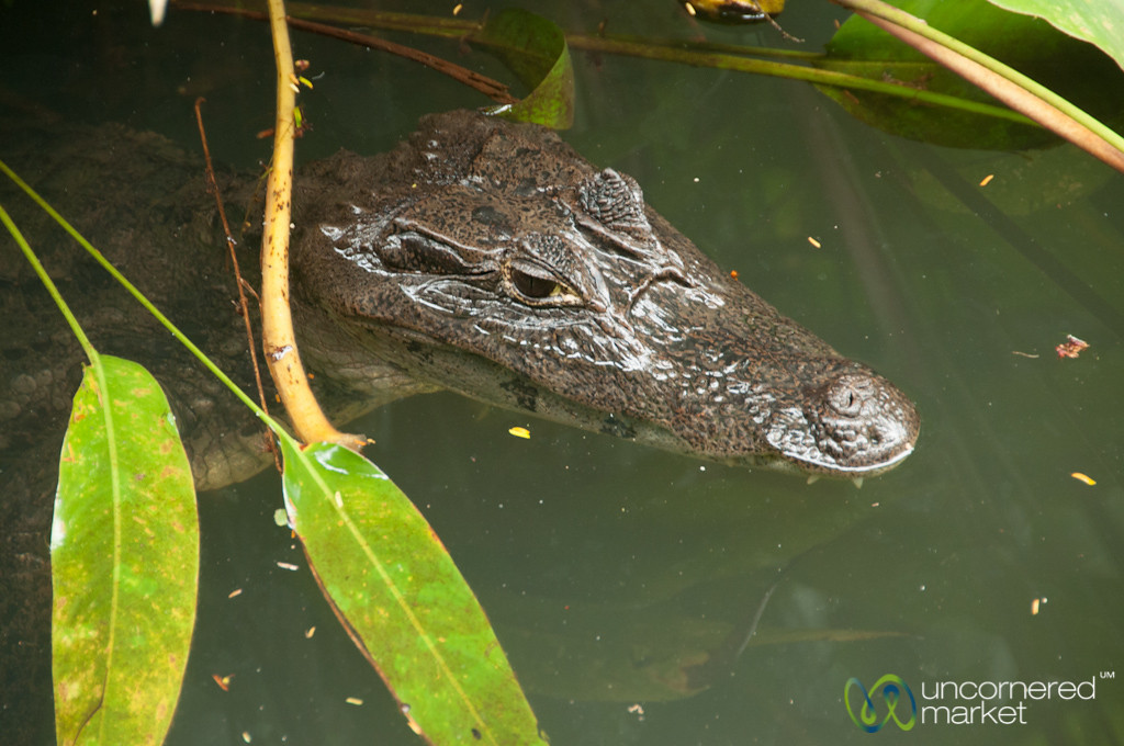 Caiman Visitor at our Lodge - Tortuguero, Costa Rica