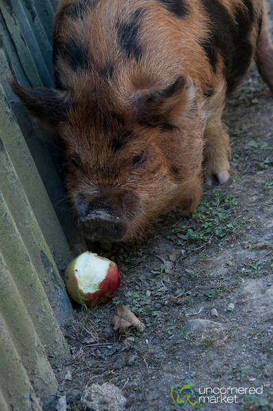 Big Pig and Apple at Lochmara Lodge, New Zealand