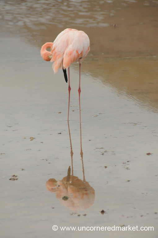 Flamingo Reflections - Galapagos Islands