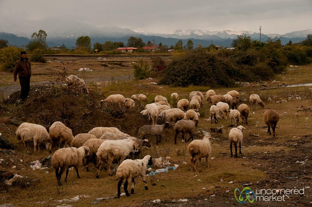 Sheep by the Caspian Sea, Iran