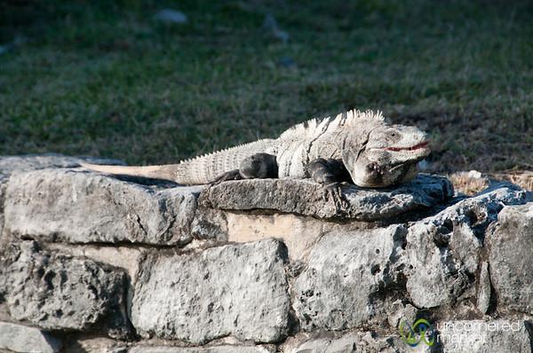 Iguana at Tulum Ruins - Riviera Maya, Mexico