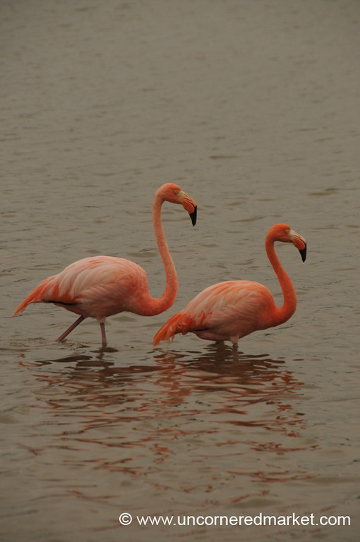 Flamingo Following Closely - Galapagos Islands