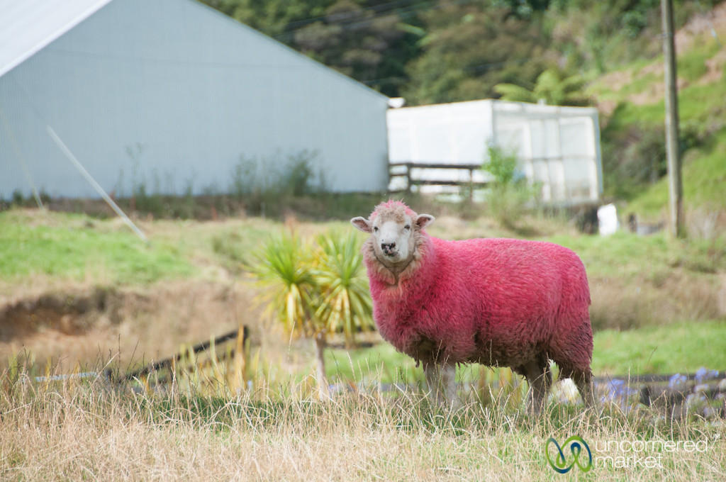 Pink Sheep - North Island, New Zealand