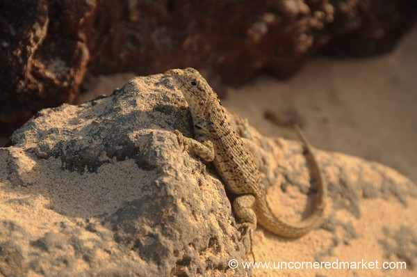 Male Lava Lizard - Galapagos Island