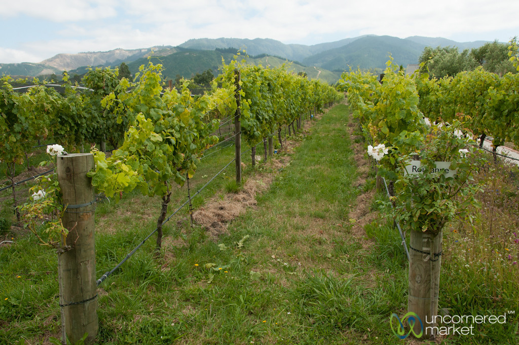 Rows of Grapes Growing at Hans Herzog Winery - New Zealand