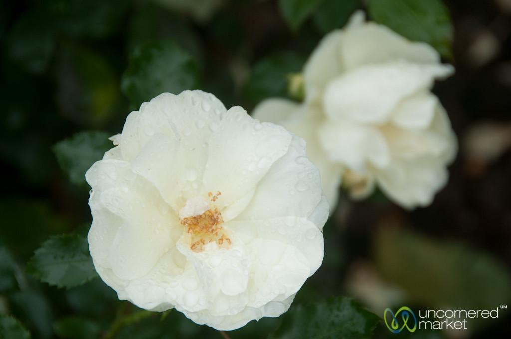 Roses After Rains - Ballymascanlon House Hotel, Ireland