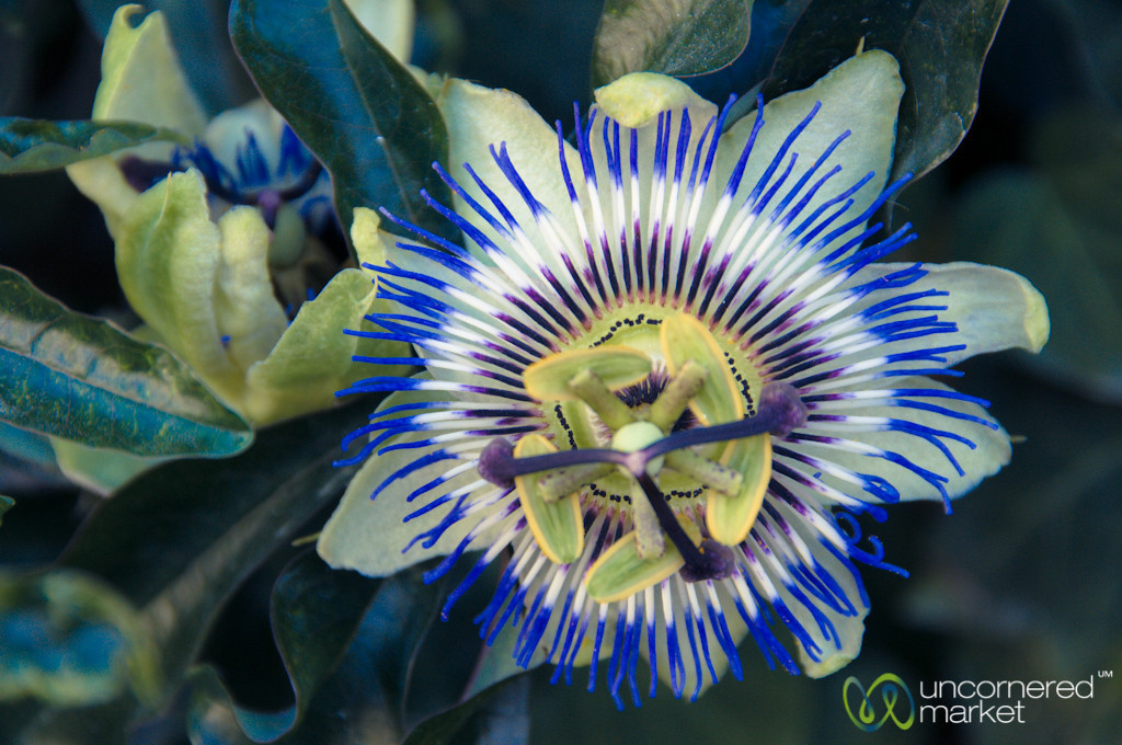 Passion Fruit Flower, Quinta de Pacheca - Northern Portugal