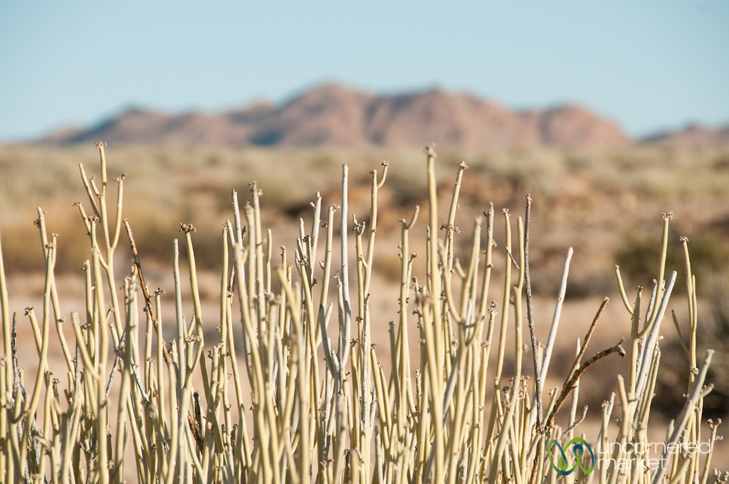 Desert Plants, Canyon Lodge - Namibia