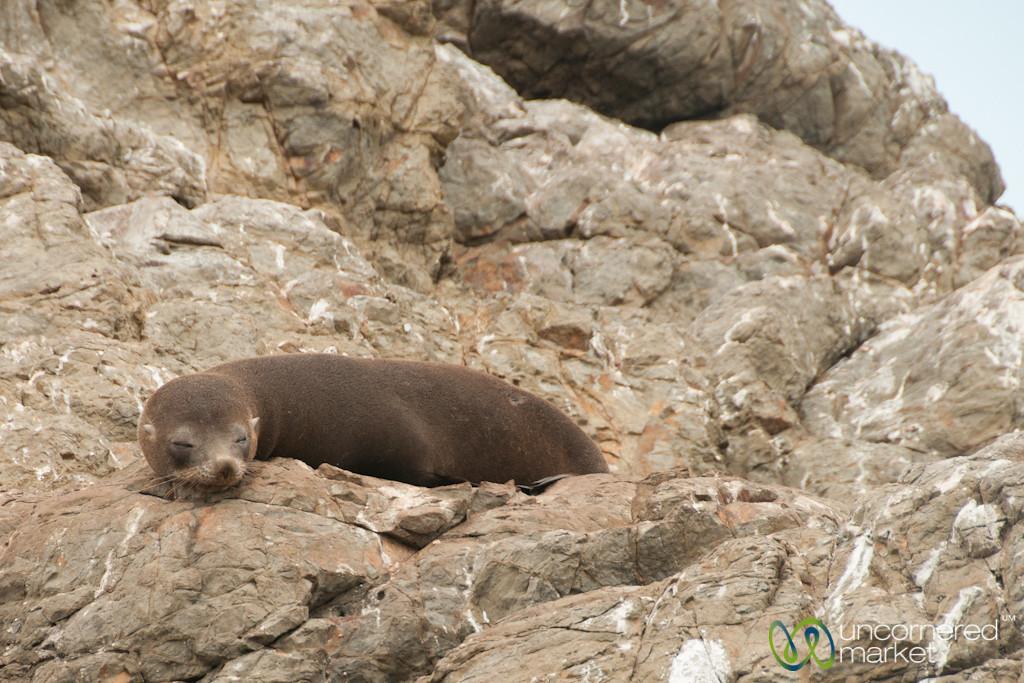 Fur Seal Teenager Near Kaikoura, New Zealand