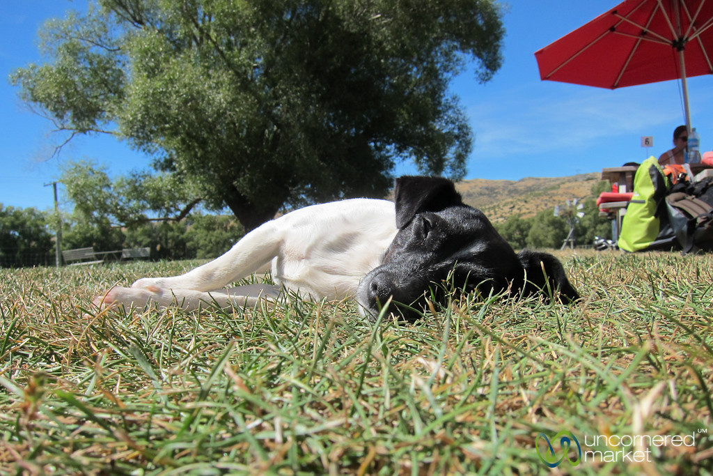 Dog Nap in Central Otago - New Zealand
