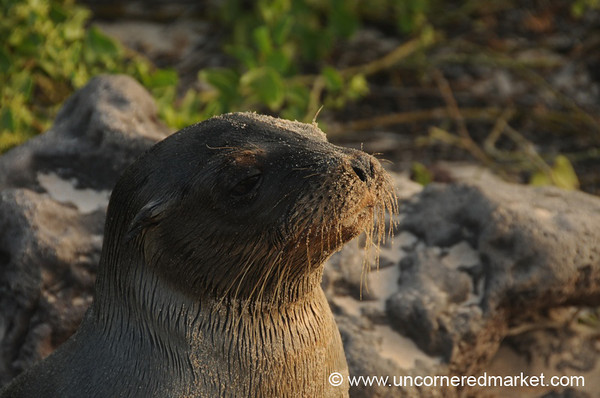 Call Him the Kaiser - Galapagos Islands