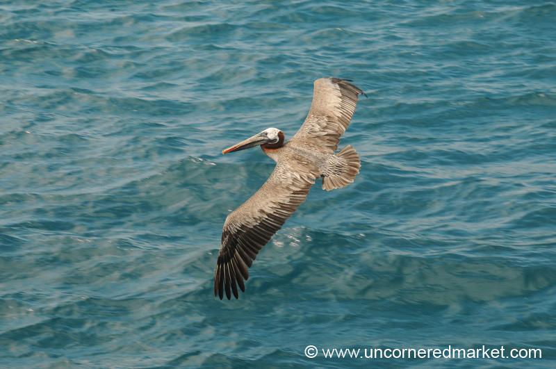 Gliding Pelican - Galapagos Islands
