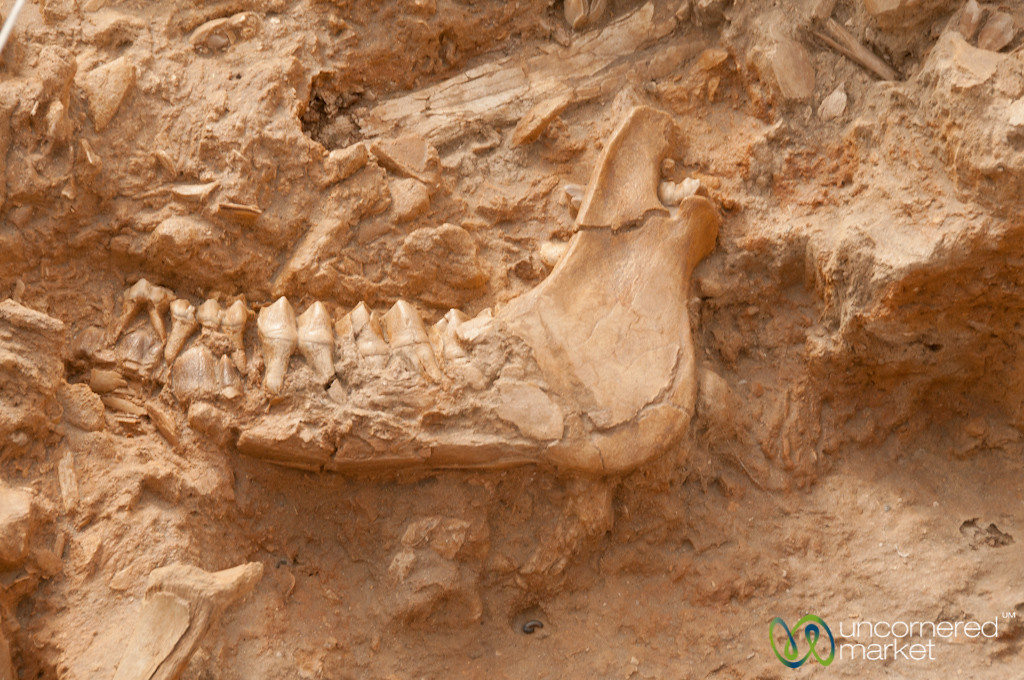 Jawbone at West Coast Fossil Park - Western Cape, South Africa