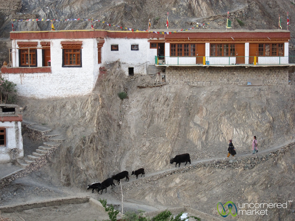 Leading Cows Back Home at end of the Day - Lamayuru Monastery, Ladakh