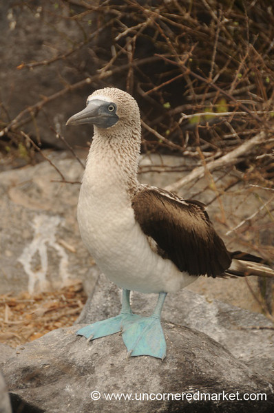 Female Blue Footed Booby - Galapagos Islands