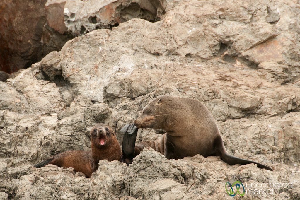 Fur Seal Mother and Pup - Kaikoura, New Zealand