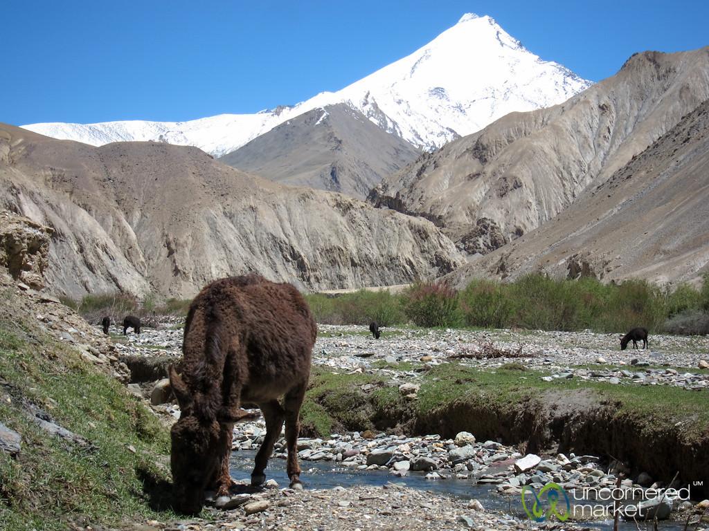 Donkey Grazing Under Snowcapped Mountain - Ladakh, India