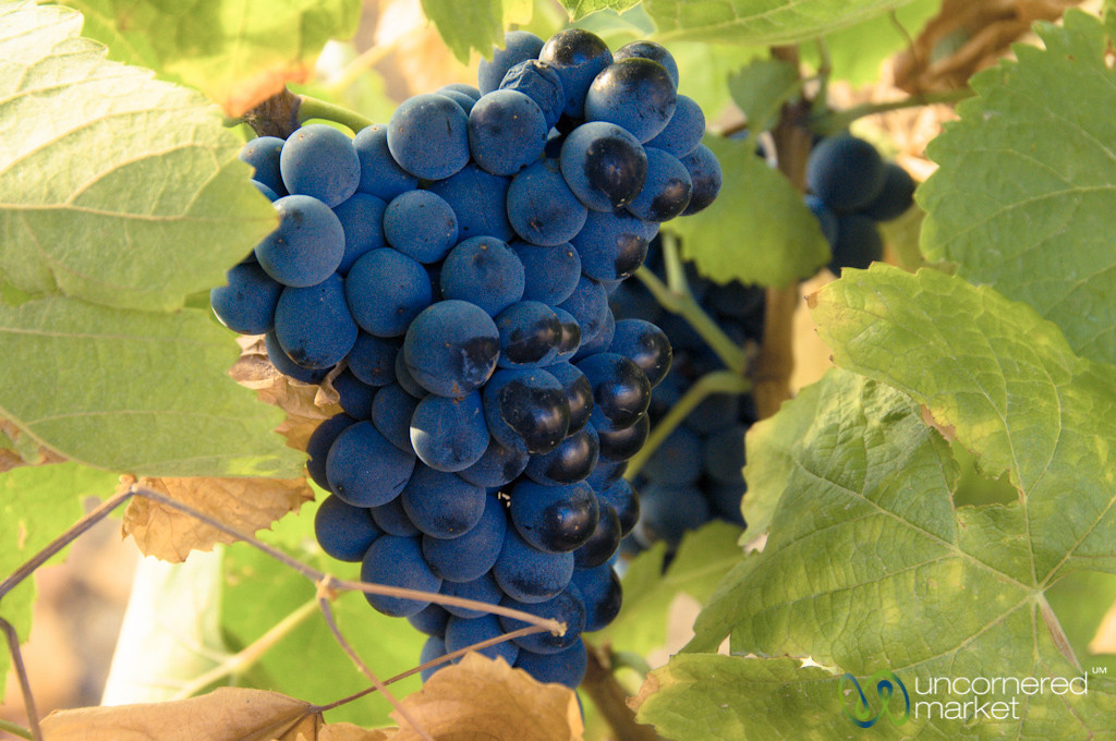 Grapes at Quinta de Pacheca Winery - Douro Valley, Portugal