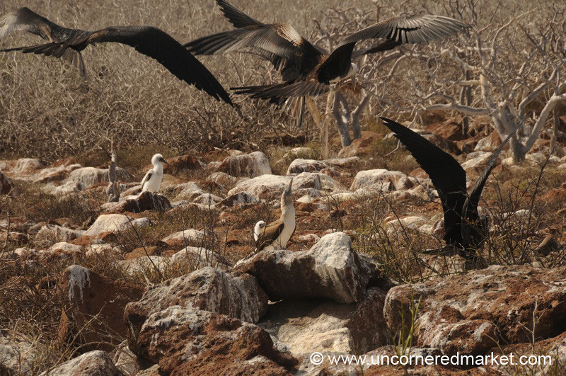 Bad Frigate Birds - Galapagos Islands