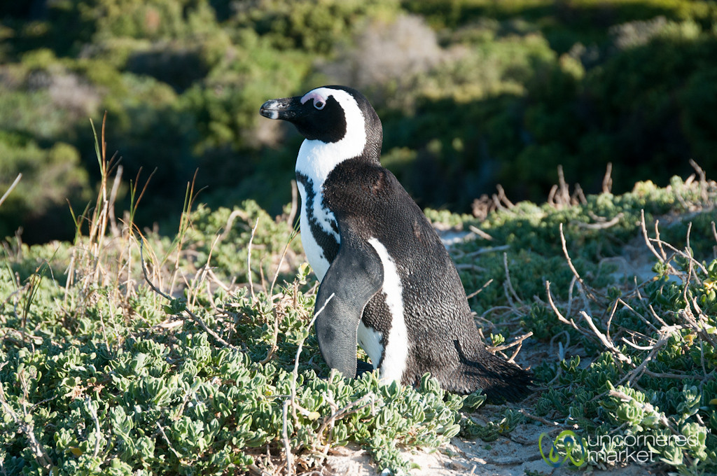 African Penguin at Boulders Beach - Cape Town, South Africa