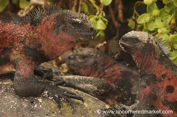 Marine Iguana Stand Off - Galapagos Islands