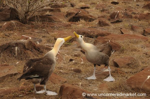 Albatross Dancing - Galapagos Islands