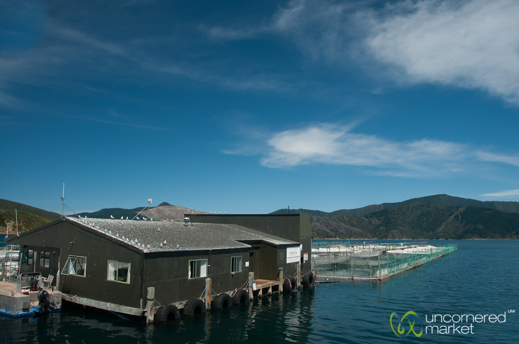 Salmon Fishery on Queen Charlotte Sound - New Zealand