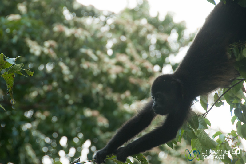 Howler Monkey Stretching in Tree - Morgan's Rock, Nicaragua