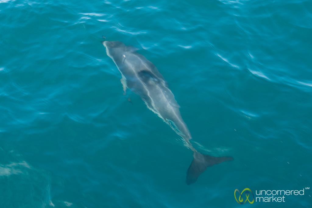 Dusky Dolphin Near Kaikoura, New Zealand
