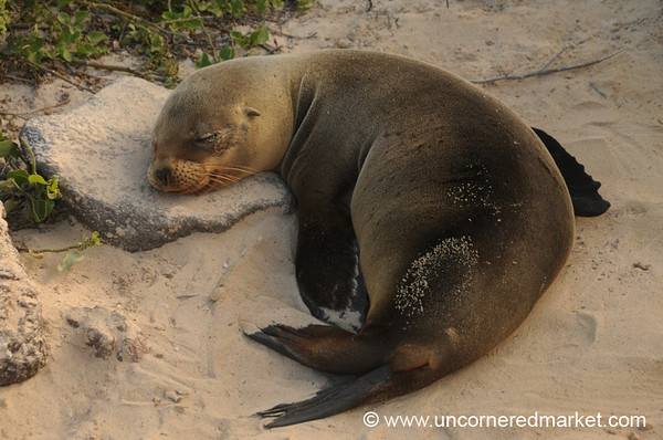 Afternoon Nap - Galapagos Islands