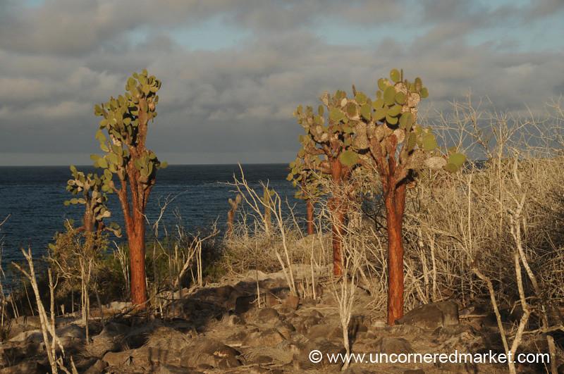 Opuntia Cactus - Galapagos Islands