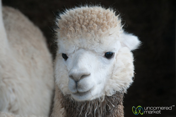 Alpaca Face - Raglan, New Zealand