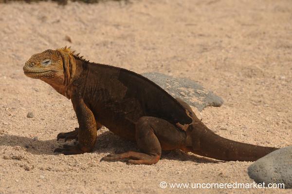 Land Iguana - Galapagos Islands
