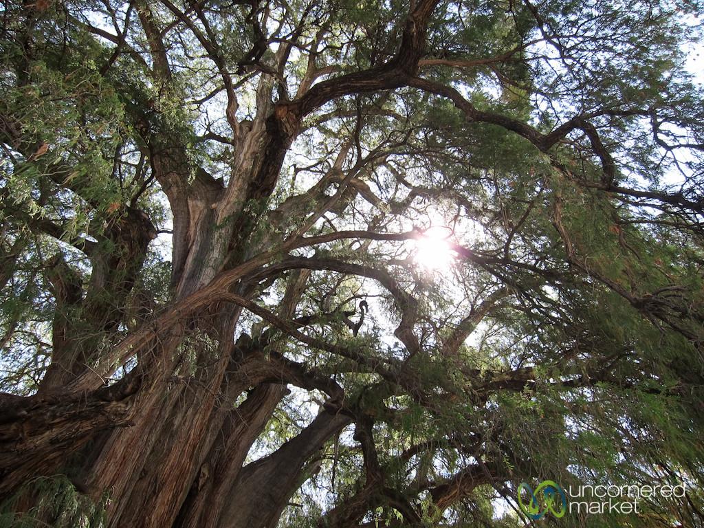 Widest Tree in World - Santa Maria del Tule, Oaxaca