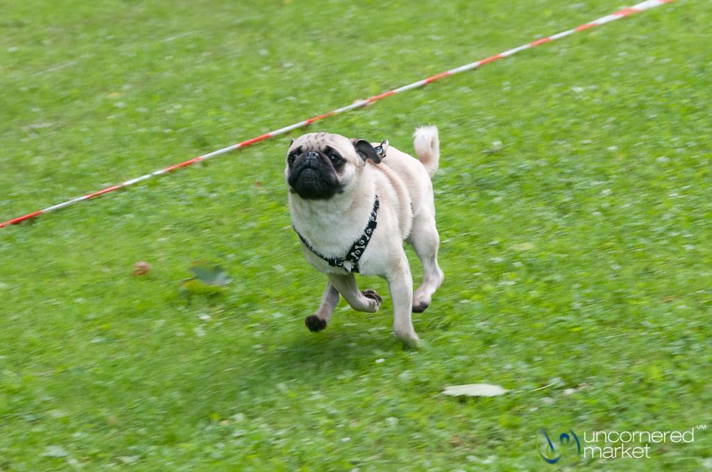 Pug Races in Berlin, Germany