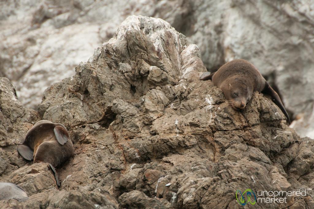 Fur Seals on Rock Near Kaikoura, New Zealand
