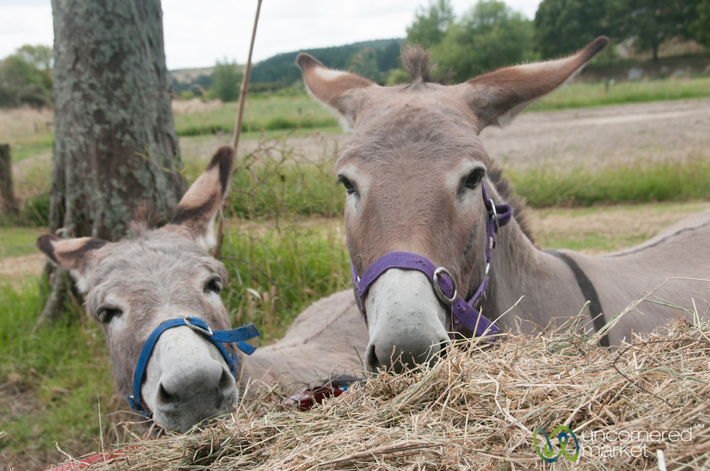 Donkey Friends - Raglan, New Zealand