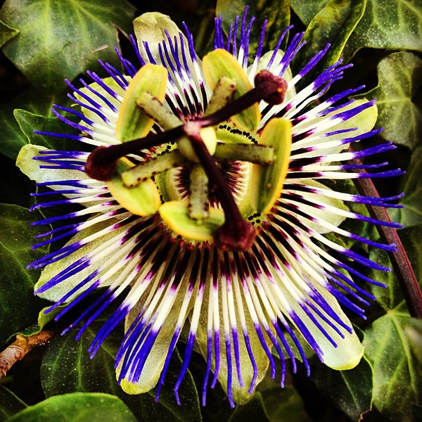 Ever wondered what a passion fruit flower looks like? #Portugal #tbupor #flowerporn