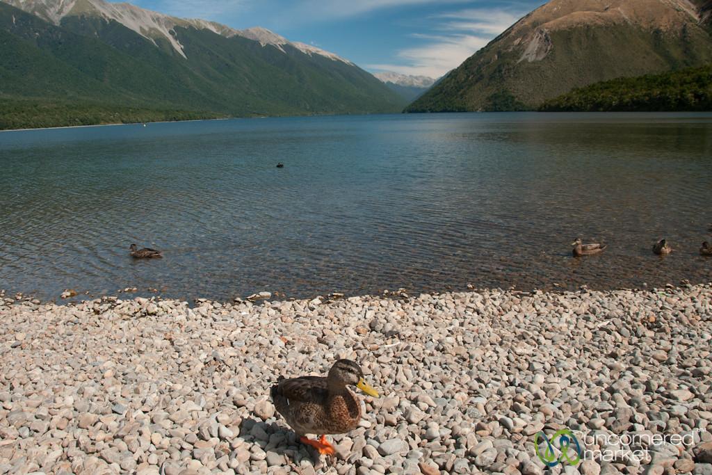 Duck at Lake Rotoiti - New Zealand