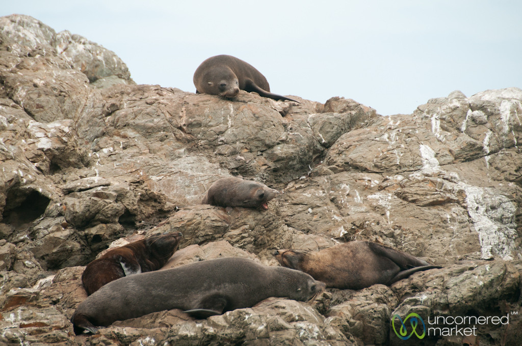 Fur Seals on Rock Near Kaikoura, New Zealand