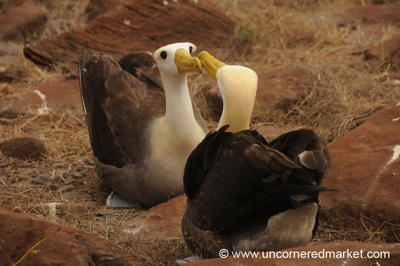 A Little Albatross Kiss - Galapagos Islands