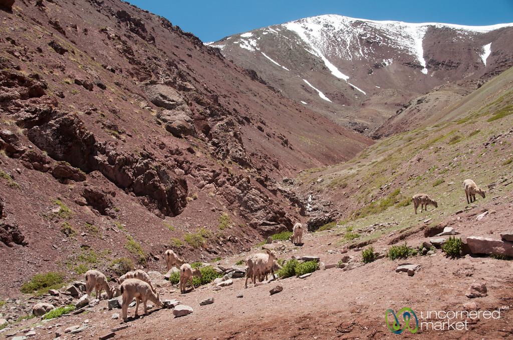 Blue Sheep - Markha Valley Trek, Ladakh, India