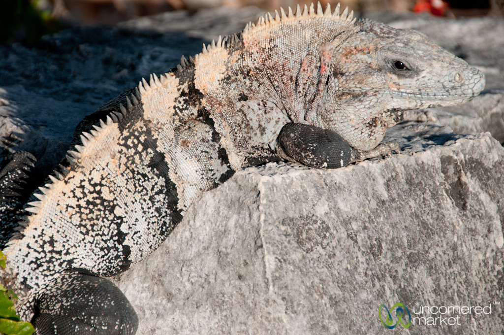 Iguana Close Up - Tulum Ruins, Mexico