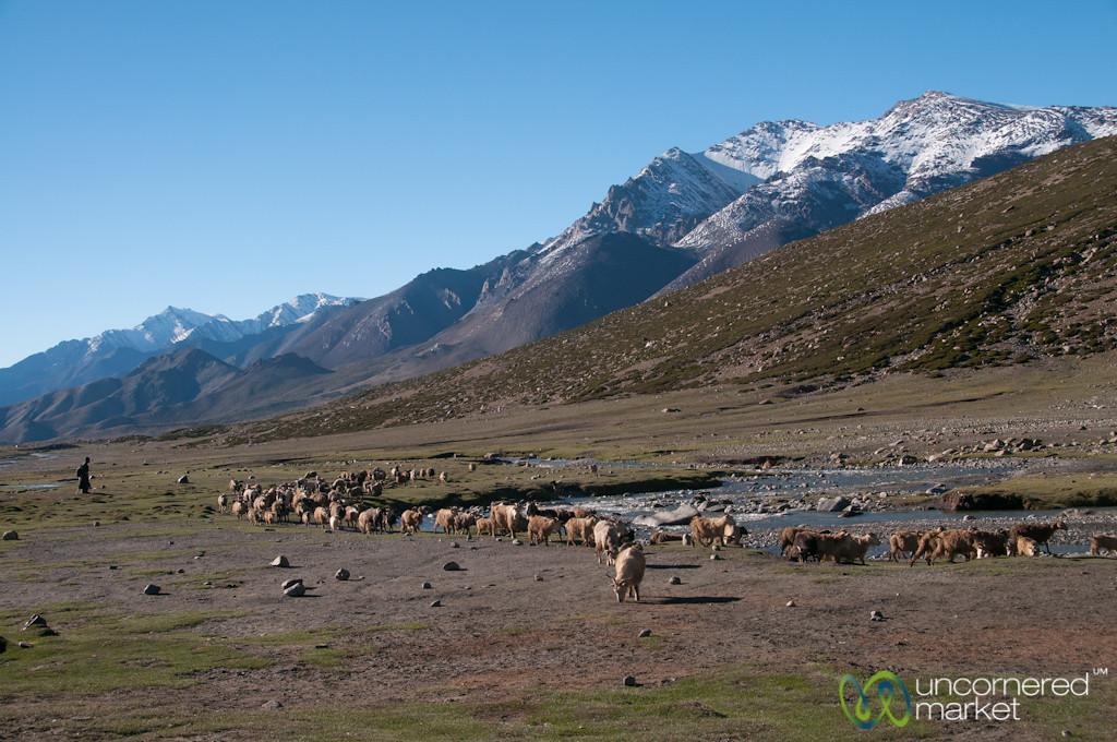 Shepherds Bringing Home Animals at Nimiling, Ladakh