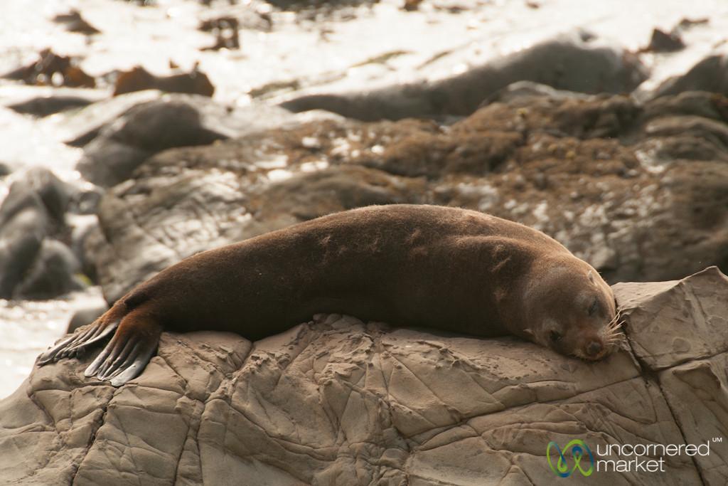 Fur Seal on Rock Near Kaikoura, New Zealand