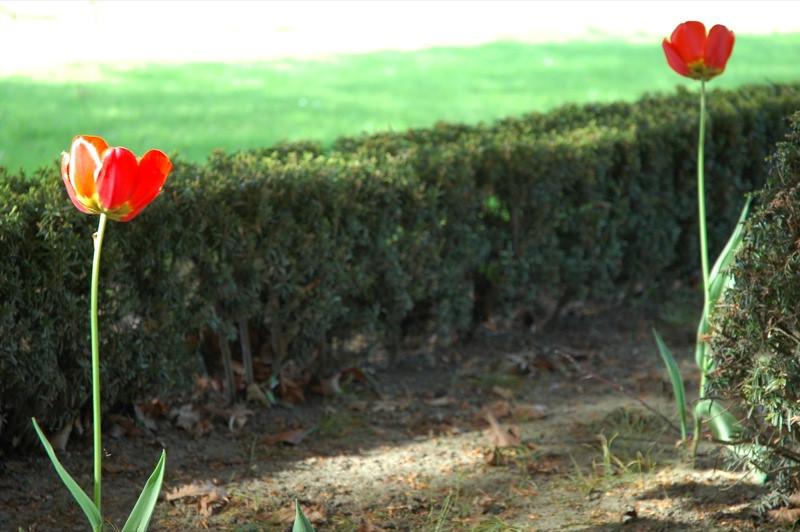 Red Tulips - Cesky Krumlov, Czech Republic