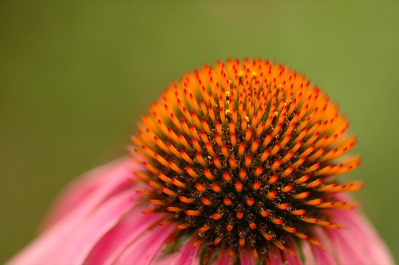 Pom-Pom Flower - Bohemia, Czech Republic