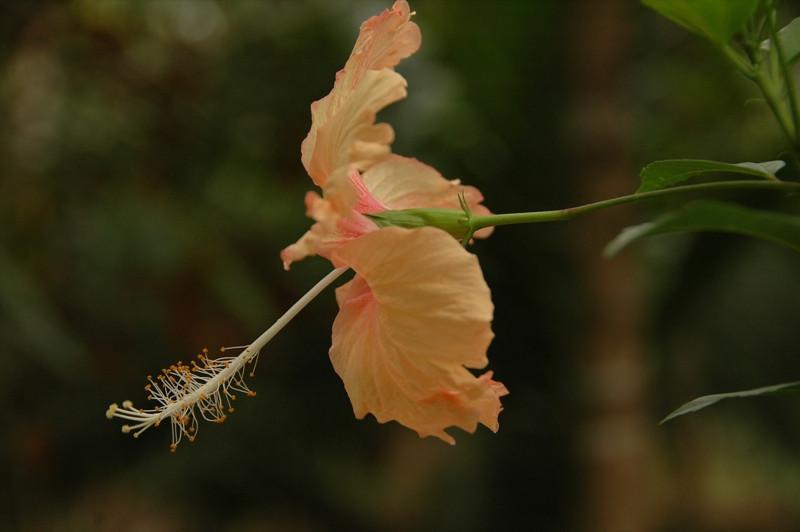 Hibiscus Flower - Khao Sok, Thailand
