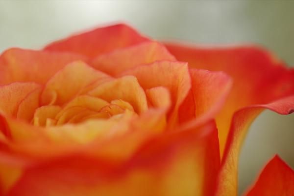 Rose - Czech Republic